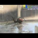 日本各地で猛威を振るう毒グモ「セアカゴケグモ」ってどんなの?