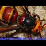 スズメバチの恐怖! 連休中に刺された2人が死亡