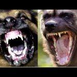 【衝撃】獰猛で危険!世界で最も強い犬種7選!
